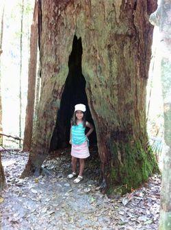 Giant Tree Fraser Isl
